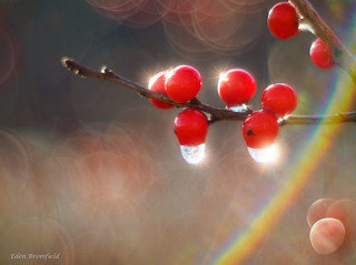 Rainbow Bokeh and Icy Winterberries (Ilex verticillata)