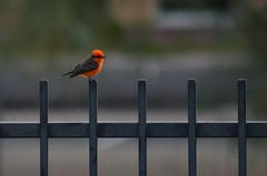 Vermilion Flycatcher - 11-4-17 Rose Mofford (steve_scordino) Tags: