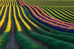 The end (rudgeo) Tags: lavender valensole provence pattern huile essentielle stripes green vert violet purple waves vagues
