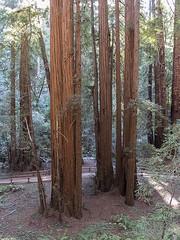 Redwoods Muir Woods b10824n (Al Greening) Tags: ggnra muirwoods marin redwood sequoia
