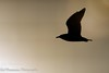 Ringed-Bill Gull Silhouette (BobHartmannPhotography) Tags: c2017bobhartmann bobhartmannphotography bobhartmann landscape swr 1365 365 wl birds everglades bobhartmanncom wildlife wwwbobhartmanncom fl usa