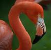 Flamingo (Carlos Santos - Alapraia) Tags: ngc ourplanet animalplanet canon nature natureza wonderfulworld highqualityanimals unlimitedphotos fantasticnature birdwatcher flamingo ave bird pássaro retrato portrait