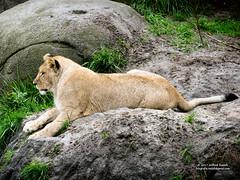 lioness (Roelofs fotografie) Tags: wilfred roelofs nikon d5600 wild wildlands 2017 nature dutch holland neterlands outdoor zoo leeuw leeuwin animals animal adventure emmen dieren dierentuin ngc lioness