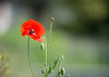 201506MOMODSC_3727-8 (xcyclopex) Tags: coquelicots fleurs proxi rouge
