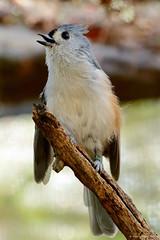 Tufted titmouse (dpsager) Tags: bird columbus columbuszoo dpsagerphotography ohio tuftedtitmouse zoo