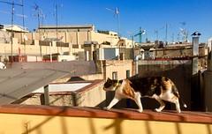 """""""Gata Leia en las alturas"""" (atempviatja) Tags: barcelona ramelleres techos cielo ático paseo gataleia gata gato terraza"""