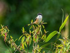 20171124-EM125068 (shutterblades) Tags: birds longtailedshrike olympusem1mkii olympusmzuiko300mmf4pro14tc seletaraerospacehub seletarwestlink