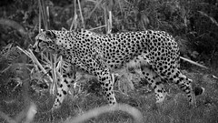 _X5C3886 (carlo612001) Tags: animals nature natura ghepardo cheetah cat bigcats bigfive predators carnivore beauty blackandwhite black white bw bn nb