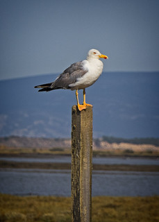 Lonesome Gull