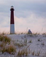 sandy knoll snowy owl (primemundo) Tags: snowyowl lighthouse owl dunes knoll dunegrass islandbeachstatepark barnegatlighthouse lbi newjersey nj oceancounty