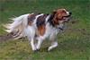Happy friend (Foto Martien) Tags: banjer kooikerhondje kooiker kooikertje kooikerhond kooikerhound kooikerdog koaikerke smalldutchwaterfowldog dutchdecoydog koaikerhûntsje nederlandsekooikerhondje vereniginghetnederlandsekooikerhondje vhnk young jong dog hound hond vriend friend mate dutch netherlands holland nederland geotagging gps geotaggedwithgps sonyilca77m2 a77 a77ii sonyalpha772 sonyalpha77markii tamron70300mmf456sp 70300 fotomartien martienuiterweerd