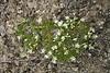 Plants_OB_154 (NRCS Montana) Tags: arenaria hookeri hookers sandwort plants