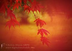 Red (Sylvia Slavin ARPS (woodelf)) Tags: red leaves autumn fall arboretum thorp perrow trees acers sony
