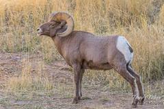 Big Bighorn Sheep ram