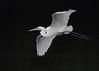 Great White Egret, Hong Kong (allengillespie.photo) Tags: herons egrets greatwhiteegret hongkong namsangwai flight
