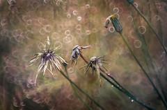 "Mille bolle (bresciano.carla) Tags: helios helios442 pentax pentaxk500 bokeh bubbles autumn pentaxart nature naturalmente vintagelens flickr m42 manuallens ""pentaxflickraward"""