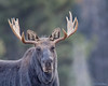 Moose (Alces alces) off Moose Wilson Road in Grand Teton National Park (Jim Frazee) Tags: moose alcesalces moosewilsonroad grandtetonnationalpark