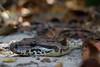 Dumeril's boa - Acrantophis dumerili (Naturals_Pictures) Tags: dumerilsboa acrantophisdumerili snake ngc naturalspictures nature madagascar vincentromera reptile boa makay makay2017 expédition science
