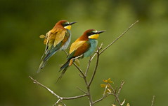 BEE EATERS (tony.cox27) Tags: bee eater