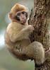 barbarymacaque apenheul BB2A9758 (j.a.kok) Tags: berber barbarymacaque barbarymonkey berberaap apenheul aap monkey mensaap zoogdier dier makaak macaque macacasylvanus