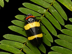 Schaumzikade, Sphenorhina nigricephala? Cercopidae (Eerika Schulz) Tags: schaumzikade sphenorhina nigricephala cercopidae zikade cicada froghopper eerika schulz