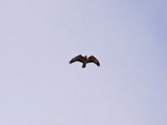Buzzard, 2017 Aug 31 -- photo 2 (Dunnock_D) Tags: uk unitedkingdom britain england shropshire stokesay white clouds buzzard flying bird raptor