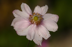 Graceful Fading (AnyMotion) Tags: japaneseanemone herbstanemone anemonehupehensis blossom blüte sunlight sonnenlicht bokeh 2017 anymotion maincemetery hauptfriedhof frankfurt hessen germany floral flowers 7d2 canoneos7dmarkii colors colours farben pink rosa autumn fall herbst automne otoño