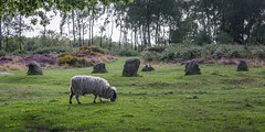 Nine Ladies Circle, Stanton Moor, Youlgreave, Derbyshire (Geraldine Curtis) Tags: heatherpanorama stantonmoor youlgreave derbyshire pink silverbirch path sheep