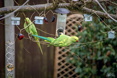 Feeding Time in the Garden (Matthewpackerphotography) Tags: parakeet canon canon700d canondigital canonphotography canonlife birds wild color colours garden outdoorphoto outdoor outside out home buckinghamshire windsor maidenhead beautiful pretty feed feeding