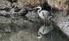 Under the tangled bank (TJ Gehling) Tags: bird ardeidae heron greatblueheron ardea ardeaherodias hoffmanmarsh hoffmanchannel isabel pointisabel pointisabelregionalshoreline ebparksok richmondca reflection