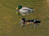 """Bad Sachsa, Kurparkteich, """"Brautente - Wood Duck"""" (joergpeterjunk) Tags: badsachsa kurpark schmelzteich outdoor herbstimpressionen herbststimmung woodduck brautente panasonicdmcfz200 bridgekamera"""