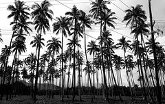 Palm Tree & Wires Landscape (MassiveKontent) Tags: hawaii wailua kauai beach ocean silhouette hawaiinisland landscapephotography monochrome bw blackandwhite tropics pacific noir