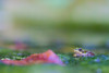 Green pond frog (Laban.tw) Tags: 臺北市 台北市 台灣 tw 金線蛙 ranafukienensis frog 青蛙 蛙 台北植物園 taipeibotanicalgarden greenpondfrog