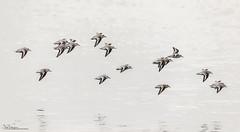 Sanderlings (Steve C Waddingham) Tags: bird british sea coast nature northumberland wild wildlife wader