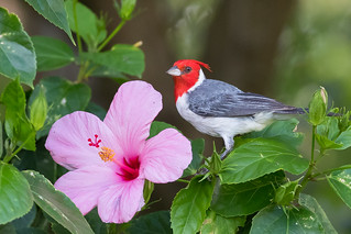 Red-crested cardinal on flower ( X77_7045-1)