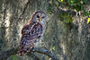 Barred Owl (Strix varia) (Frank Shufelt) Tags: barredowl strixvaria strigidae owls aves birds birdsofprey wildlife dinnerislandranch dir wildlifemanagementarea hendrycounty florida usa northamerica july2017 3445