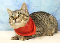 A37159331_PumpkinBumpkin (kentucky humane society) Tags: pet animal blue khs shelter dog white black cat tiger orange yellow