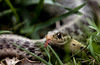 Garden Snake (Klaus Ficker --Landscape and Nature Photographer--) Tags: gardensnake snake closeup nature kentuckyphotography klausficker usa kentucky canon eos5dmarkii