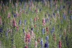 Impression de fleurs **--- ° (Titole) Tags: pieddalouette delphinium field many titole nicolefaton shallowdof multicolore thechallengefactory