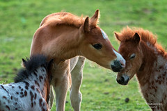 Horse therapy (Marc Haegeman Photography) Tags: horse foal animals nikon marchaegemanphotography meadow love tender younganimals animal grass veluwe netherlands nederland gelderland lente spring hogeveluwe