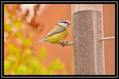 """Ringed Blue Tit..."" (NikonShutterBug1) Tags: nikond7100 tamron70300mm birds ornithology wildlife nature spe smartphotoeditor birdfeedingstation bokeh birdsfeeding bluetit"
