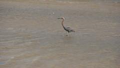 DSC04911 (Matthew283) Tags: bolvar wildlife 11182017 reddish egret