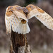 Barn Owl (Sue D Sharpe) Tags: barnowl owl captive landing ontario