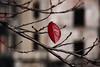 LONELY RED (Sign-Z) Tags: red leaf autumn nikon d7200 afsdxnikkor18300mmf3556gedvr 18300mmf3556gvr 赤 紅葉 秋 葉