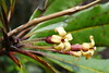 Pittosporum heckelii (Ben Caledonia) Tags: pittosporum pittosporaceae