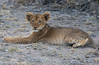 Lion Cubs (Mike/Claire) Tags: lioncub lioness 2016 southafrica tandatula timbavati