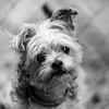 Giblet18Nov20178-Edit.jpg (fredstrobel) Tags: dogs pawsatanta phototype atlanta blackandwhite usa animals ga pets places pawsdogs decatur georgia unitedstates us