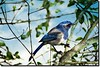 BLUE JAY (jawadn_99) Tags: explore bird colored interrestingness fauna bluejay coth5