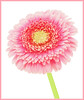 Gerbera Daisy (Sandyp.com) Tags: gerbera daisy flower whitebackground sonyalpha sonya7rii topazimpression