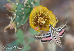 Hummingbird Hawk Moth (Anne Marie Fraser) Tags: hummingbirdhawkmoth hummingbird hawk moth macro flower cactus plant desert arizona flying flight pink